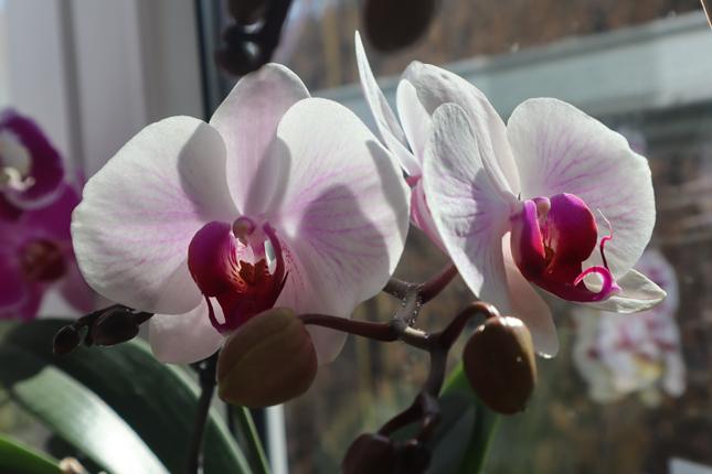 Orhideele, de ce le iubesc atat de mult?