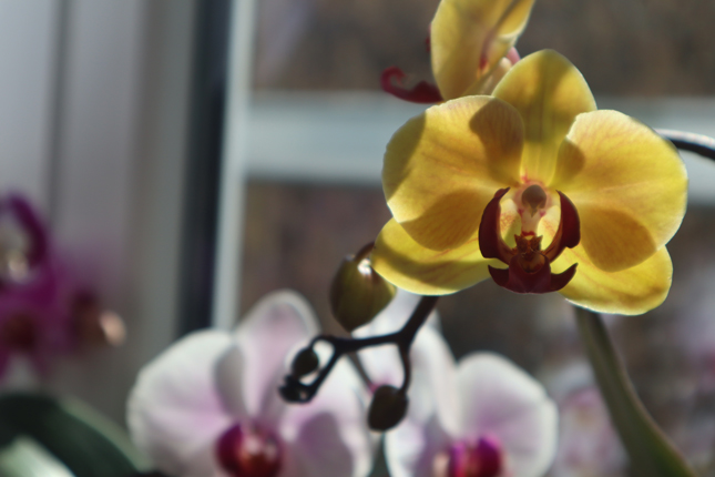 Orhideele mele, de ce le iubesc asa de mult?