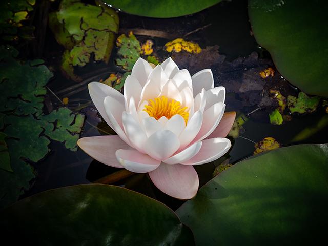 Semnificatia florii de lotus, floarea spiritualitatii