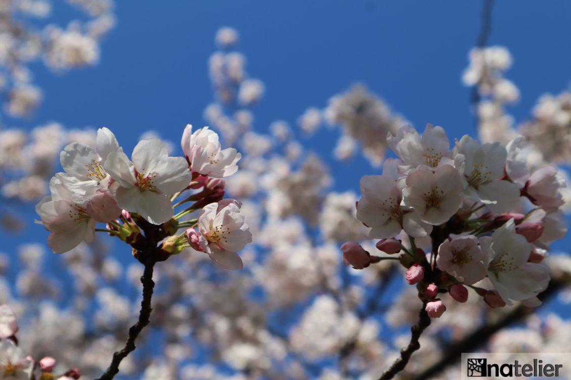 Sakura inspiration, prea multă primăvară!